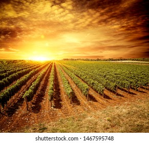 Beautiful sunset in the vineyard view.