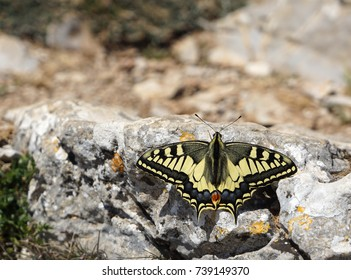 Beautiful Swallowtail Butterfly in Natural Environment
