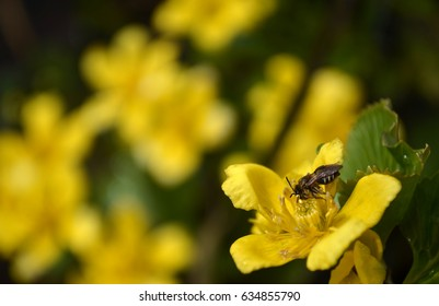 Beautiful swamp yellow flower with bee
