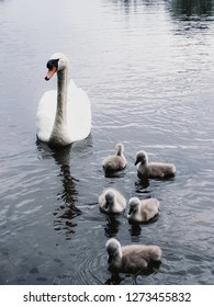 beautiful swan family with cygnets on lake