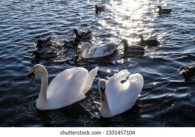 Swans Have Come Back >> Swan Stock Photos Images Photography Shutterstock