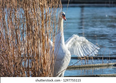 Beautiful swan flexing its wings behind some reeds on a pond.
