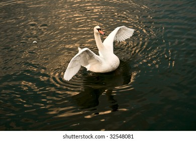 A beautiful swan is floating on a lake with his wings spread.