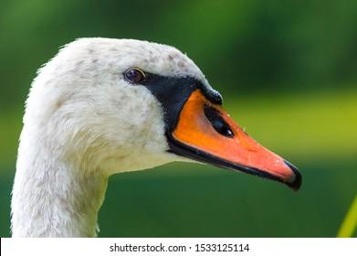 Beautiful swan head with an orange beak by the lake