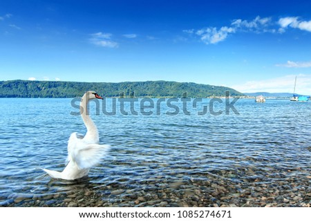 Beautiful swan at  the Lake Constance (Bodensee), Europe, Germany
