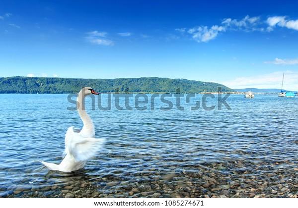 Schöner Schwan am Bodensee, Europa, Deutschland