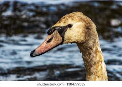 beautiful swan on a lake