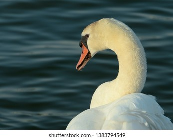 The beautiful swan sails through the river and searches for food (Selective focus and smail depth of field)