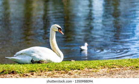 Beautiful swan sitting on the green grass next to a pond with a baby swan swimming, wonderful and sunny day at the Proosdij park in Meerssen South Limburg in the Netherlands Holland