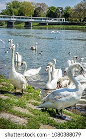 Beautiful Swans â?? Cygnus on the river side with bridge, Piestany, Slovak republic. Natural scene. Travel destination.