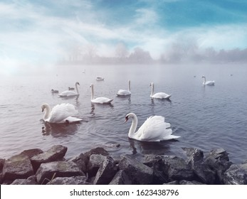 Beautiful Swans on foggy river