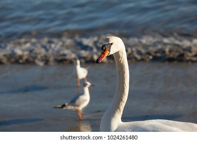 Beautiful swans and seagulls on the beach near the Black Sea in Varna. Bulgaria