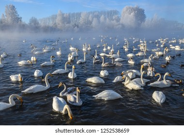Beautiful swans swim on a non-freezing lake in winter. Place for wintering swans, Altai, Siberia. Swan Lake, Sovetsky District.
