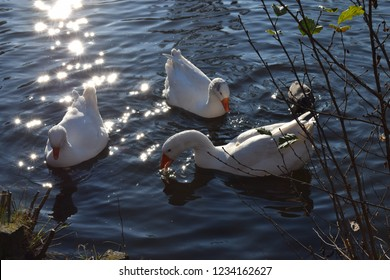 beautiful swans in the water verry sunny day
