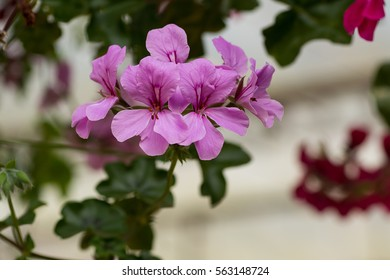 Beautiful sweet of geranium ivy plant.