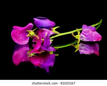 beautiful sweet pea flower on black background with water drops