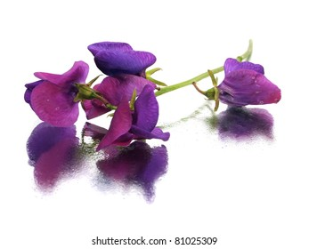 beautiful sweet pea flower on white background with water drops