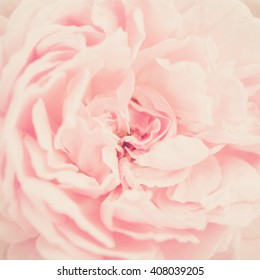 Beautiful sweet pink roses in soft focus style for flora background. Pastel color tone.