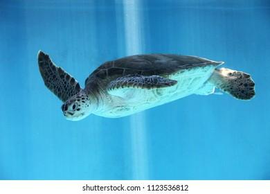 Beautiful swimming sea turtle