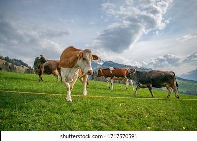 Beautiful swiss cows. Alpine meadows. Mountains.