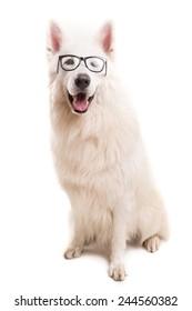 Beautiful Swiss White Shepherd dog posing in studio