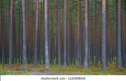 The beautiful symmetry of the straight, tall pine tree trunks at the edge of the late summer forest in Dalarna, Sweden