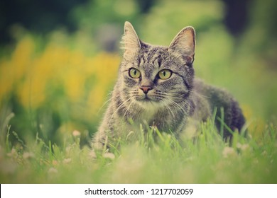 Beautiful tabby cat lying in the blooming meadow. Felis silvestris catus. Cat in the nature.