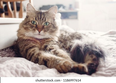 Beautiful tabby cat lying on bed and looking with green eyes. Fluffy Maine coon with funny emotions resting in white stylish room.