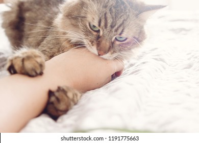Beautiful tabby cat lying on bed and biting owners hand in soft morning light. Angry  Maine coon with funny emotions resting in white stylish room. Cat portrait. Space for text