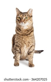 Beautiful tabby cat sitting over white background with ear tipped indicating he was captured, sterilized and vaccinated