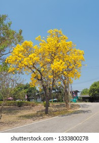 Beautiful Tabebuia chrysantha (Golden Tree, Golden Trumpet Tree, Yellow Pui) blossom blooming on tree with blue sky background.