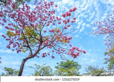 Beautiful Tabebuia rosea tree with pink flowers in Taichung City, Taiwan