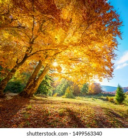 Beautiful tall tree with golden leaves and real sun - amazing autumn landscape background