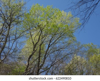 Beautiful and tall trees in Spring. East Tennessee, USA.