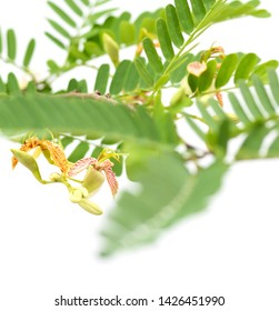 Beautiful Tamarind flower and leaves on white background