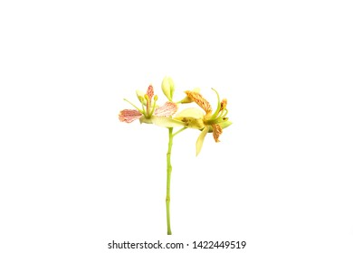 Beautiful Tamarind flower on white background