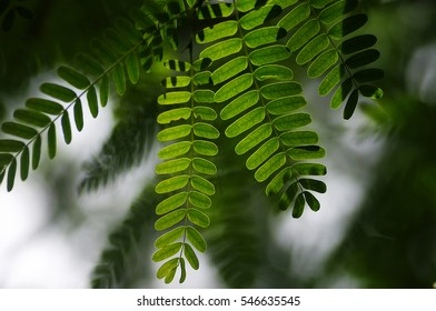 Beautiful tamarind leaves backlit with sunlight in soft focus and tree blur background concept. Selective focusing applied.