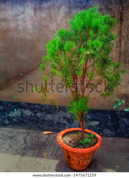 Beautiful Tamarisk Tree Picture Stock Photo Edit Now 1475671259