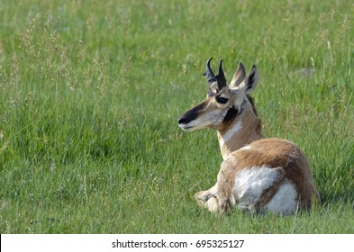 A beautiful tan and white pronghorn antelope relaxed in the green grass of the prairie.