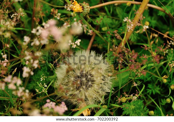 Beautiful Taraxacum flower on a green garden