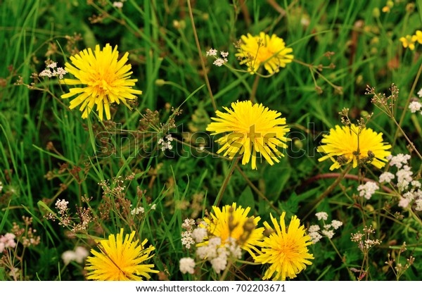 Beautiful Taraxacum flower on a green garden