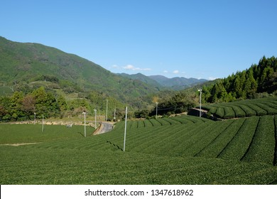 Beautiful tea field at Setoya village, Shizuoka prefecture, Japan. The tea harvesting season during spring time.