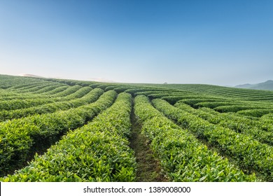 beautiful tea field in the spring morning
