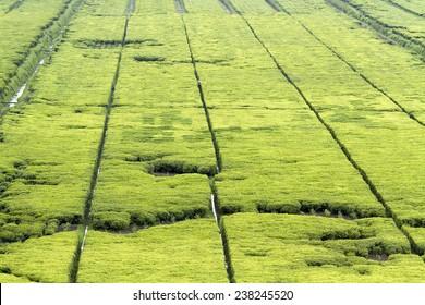 Beautiful tea fields in Rwanda