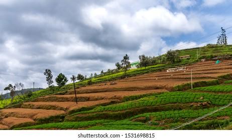 beautiful tea garden view in Nilgiri mountains at Udhagamandalam / Udhagai / Ooty, Nilgiris, Tamil Nadu, India