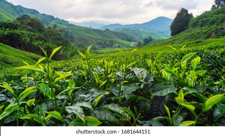 Beautiful Tea plantation Cameron highlands, Malaysia