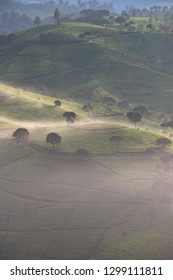 Beautiful tea plantation covered by mist in the morning, aerial view, Bandung, Indonesia