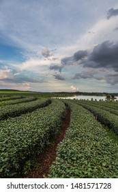 Beautiful tea plantation filed in Chiangrai, northern part of Thailand