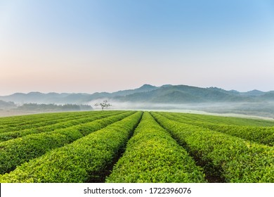 beautiful tea plantation with mist in the early morning