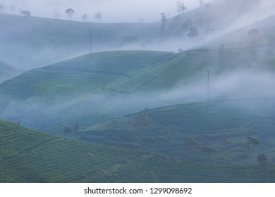 Beautiful tea plantation in the morning surrounded by fog in Pangalengan, Indonesia